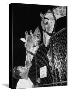 Giraffes Being Friendly with Circus Vet by Francis Miller