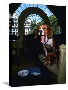 Pet Beagles of President Lyndon B. Johnson, Sitting Together in White House Sitting Room by Francis Miller