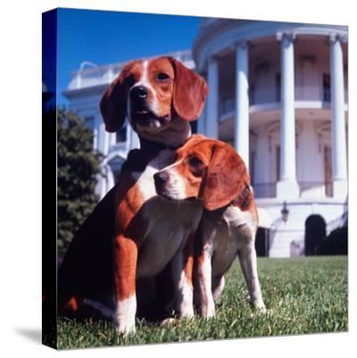 President Lyndon B. Johnson's Pet Beagles, Him and Her, on the White House Lawn