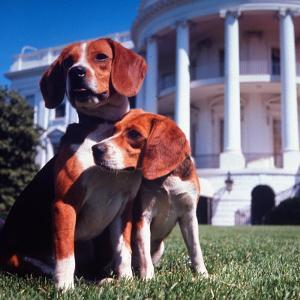 President Lyndon B. Johnson's Pet Beagles, Him and Her, on the White House Lawn by Francis Miller