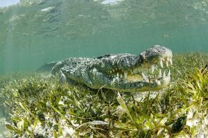 American crocodile over seagrass bed, Mexico by Franco Banfi