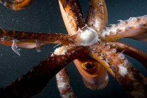 Beak and Tentacles of Humboldt Squid (Dosidicus Gigas) at Night Off Loreto by Franco Banfi