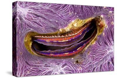 Bivalve Scallop (Pedum Spondyloideum) Inside A Coral Covered With Purple Sponge