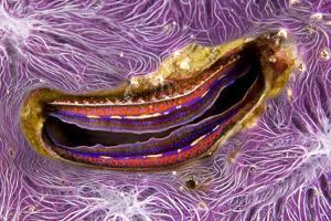 Bivalve Scallop (Pedum Spondyloideum) Inside A Coral Covered With Purple Sponge by Franco Banfi