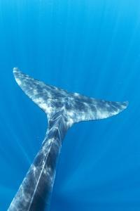 Bryde's whale tail, Trincomalee, Eastern Province, Sri Lanka, Bay of Bengal, Indian Ocean by Franco Banfi