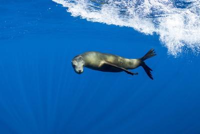 California sealion swimming. Magdalena Bay, Mexico