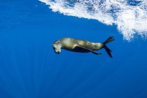 California sealion swimming. Magdalena Bay, Mexico by Franco Banfi
