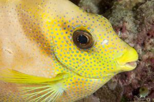 Coral Rabbitfish portrait, Tubbataha Reef Natural Park, Cagayancillo, Palawan, Philippines by Franco Banfi