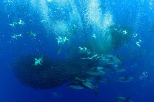 Cory's Shearwaters (Calonectris Diomedea) Diving Among a Mass of Shoaling Fish to Feed by Franco Banfi