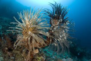 Crinoids (Oxycomanthus Bennetti) Menjangan Island, Bali Island, Indonesia, Pacific Ocean by Franco Banfi