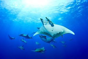 Devilrays (Mobula Tarapacana) Large Group at the Surface by Franco Banfi