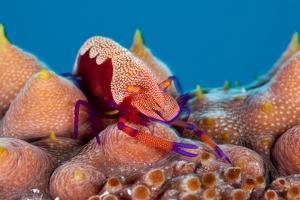 Emperor shrimp on sea cucumber, Sulu Sea, Cagayancillo, Palawan, Philippines by Franco Banfi