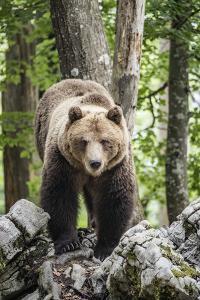 European brown bear (Ursus arctos), alpha male in Karst forest, Notranjska, Slovenia by Franco Banfi