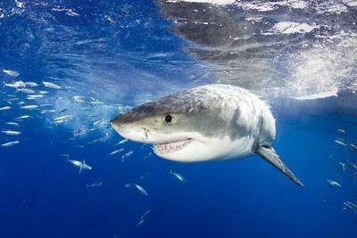 Great White Shark (Carcharodon Carcharias) Guadalupe Island, Mexico, Pacific Ocean. Vulnerable