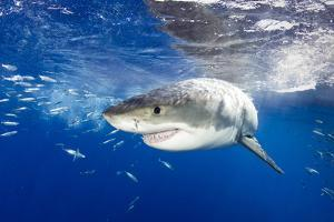 Great White Shark (Carcharodon Carcharias) Guadalupe Island, Mexico, Pacific Ocean. Vulnerable by Franco Banfi