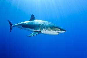 Great White Shark (Carcharodon Carcharias) Guadalupe Island, Mexico, Pacific Ocean by Franco Banfi