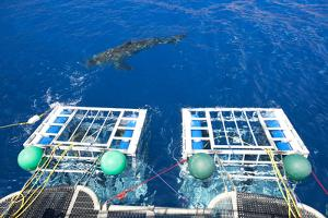 Great White Shark (Carcharodon Carcharias) Swimming in Front of Scuba Diving Cages by Franco Banfi