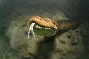 Green anaconda underwater, Formoso River, Bonito, Brazil by Franco Banfi