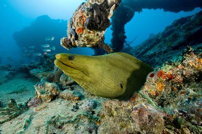 Green Moray (Gymnothorax Funebris) Santa Lucia, Camaguey, Cuba, Caribbean Sea, Atlantic Ocean