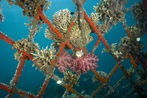 Hard and Soft Corals and Encrusting Sponge on the Structure of Bio-Rock by Franco Banfi