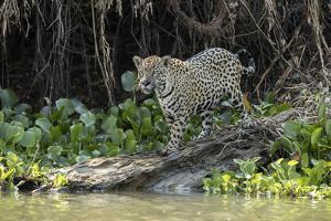 Jaguar (Panthera onca) Pantanal, Mato Grosso, Brazil by Franco Banfi