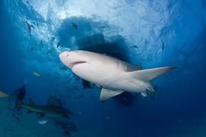 Lemon Shark (Negaprion Brevirostris) Northern Bahamas, Caribbean Sea, Atlantic Ocean by Franco Banfi