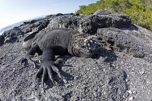 Marine Iguanas (Amblyrhynchus Cristatus) Basking on Volcanic Rock by Franco Banfi