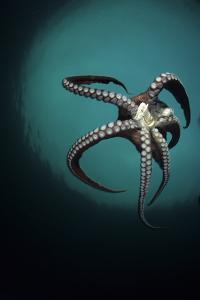 Pacific Octopus (Octopus Dofleini) Vancouver Island, British Columbia, Canada, Pacific Ocean by Franco Banfi