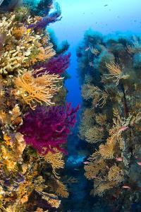 Red Gorgonian Coral (Lophogorgia Chilensis) and Yellow Gorgonian (Eunicella Cavolini) Growing by Franco Banfi