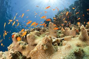 Reef and shoal of Jewel fairy basslet, South Point dive site, Sanganeb reef, Sudan, Red Sea by Franco Banfi