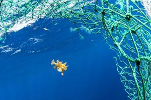 Sargassum fish (Histrio histrio) swimming with discarded fishing net, Dominica. by Franco Banfi