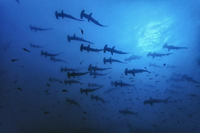 Schooling Scalloped Hammerhead Sharks (Sphyrna Lewini) Cocos Island National Park, Costa Rica