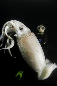 Scuba Diver and Humboldt Squid (Dosidicus Gigas) at Night Off Loreto by Franco Banfi