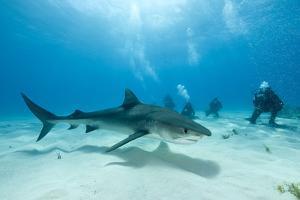 Scuba Diver and Tiger Shark (Galeocerdo Cuvier) Northern Bahamas, Caribbean Sea, Atlantic Ocean by Franco Banfi