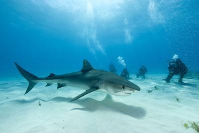 Scuba Diver and Tiger Shark (Galeocerdo Cuvier) Northern Bahamas, Caribbean Sea, Atlantic Ocean