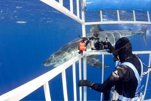 Scuba Diver Photographing Great White Shark, (Carcharodon Carcharias) from Cage by Franco Banfi