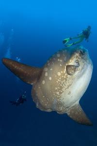 Scuba Diver With Ocean Sunfish (Mola Mola) Crystal Bay, Nusa Penida, Bali Island by Franco Banfi