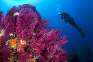 Scuba Diver with Red Gorgonian Coral (Lophogorgia Chilensis) by Franco Banfi