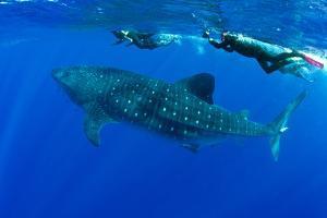 Snorkelers Swimming with Whale Shark (Rhincodon Typus) Santa Maria Island by Franco Banfi