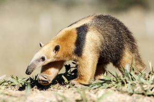 Southern anteater, Bonito, Mato Grosso do Sul, Brazil by Franco Banfi