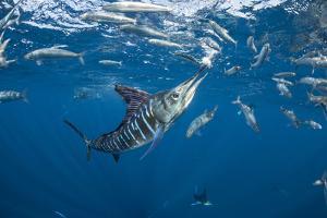 Striped marlin feeding on sardines, Pacific Ocean, Mexico by Franco Banfi
