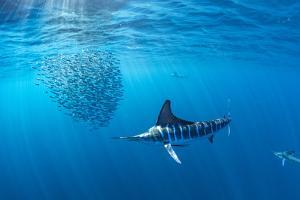 Striped marlin hunting sardines in bait ball, Mexico by Franco Banfi