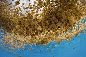 Thimble jellyfish aggregation, Cabilao Island, Bohol, Central Visayas, Philippines, Pacific Ocean by Franco Banfi