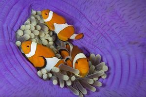 Three False clownfish in Sea anemone, Lighthouse Reef, Philippines, Pacific Ocean by Franco Banfi