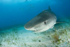 Tiger Shark (Galeocerdo Cuvier) Northern Bahamas, Caribbean Sea, Atlantic Ocean by Franco Banfi