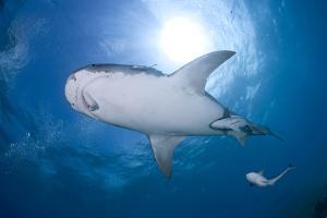 Tiger Shark (Galeocerdo Cuvier)With Injured Jaw, Northern Bahamas, Caribbean Sea, Atlantic Ocean by Franco Banfi