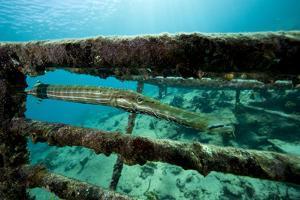 Trumpetfish (Aulostomus Maculatus) on Wreck by Franco Banfi