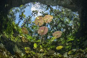 Water lilies, Cenote Nicte-Ha, Yucatan Peninsula, Mexico by Franco Banfi