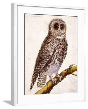 Owl, from Histoire Naturelle Des Oiseaux by Georges de Buffon