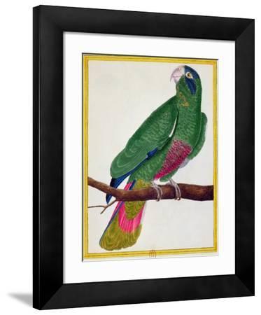 Parrot, from Histoire Naturelle Des Oiseaux by Georges de Buffon